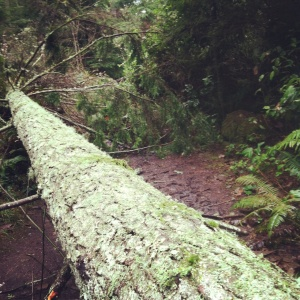 tree down! enjoyed climbing over this with a baby strapped on me